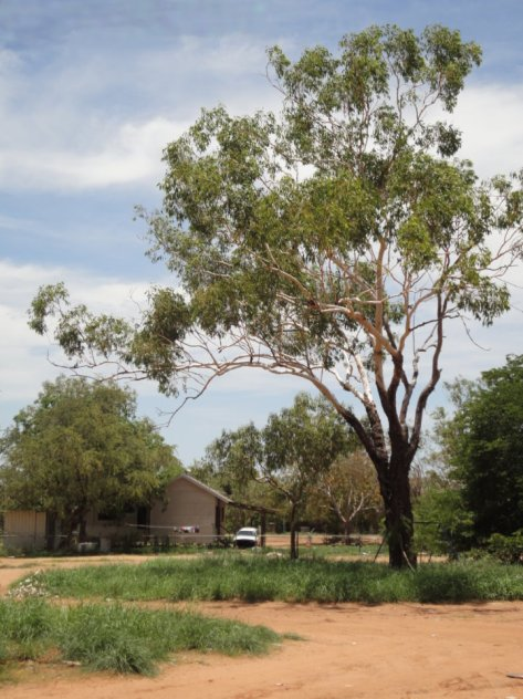 Australian ghost gum (Eucalyptus)